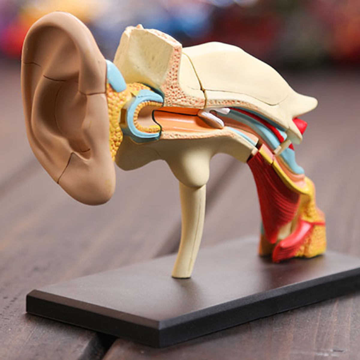 4d Vision Human Ear Anatomy Model Anatomical Medical Learn Study