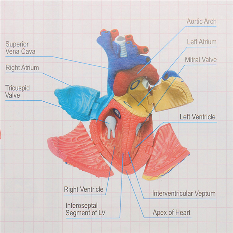 4d Anatomical Human Heart Structural Models Anatomy Medical Teaching